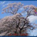 映:桜 古川化女沼 17年4月18日
